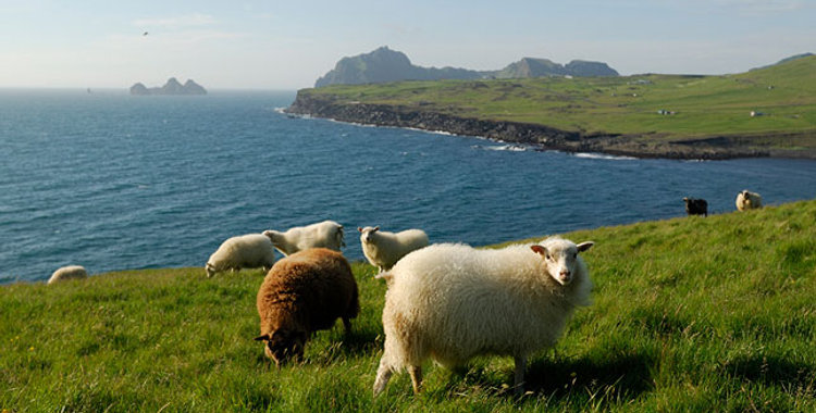 Исландский ягненок